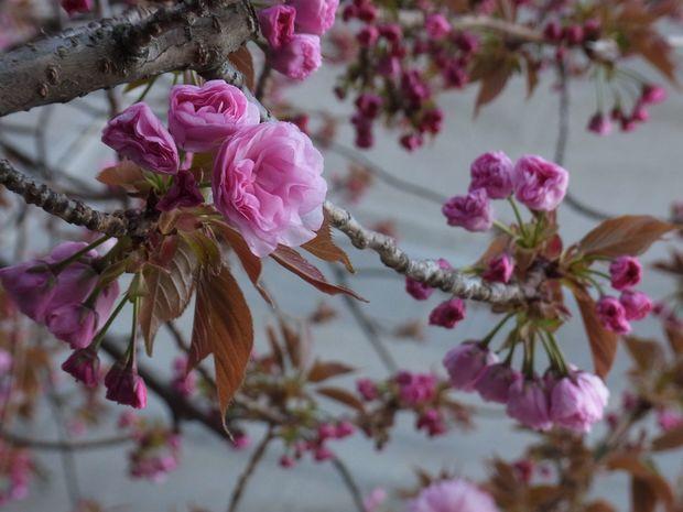 13april2019-yaezakura01.jpg