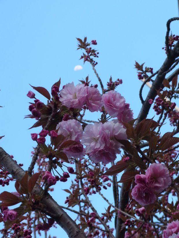 13april2019-yaezakura02.jpg