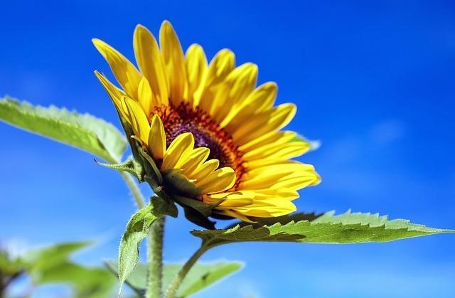 maxpixel.freegreatpicture.com-Flowers-Sun-Flower-Summer-Sky-Flower-Yellow-1536088.jpg